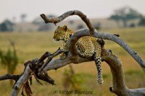 luipaard-in-boom.jpg